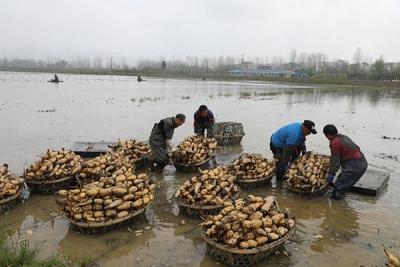 曲江区罗坑大力种植红花莲藕打造地方特色品牌