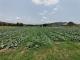 翁源周陂镇马鞍山蔗场积极转型种植千亩蔬菜 农户有了好收成